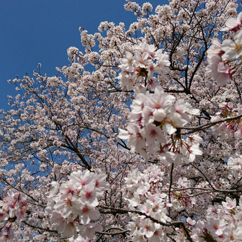 桜流しの雨